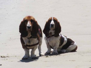 Basset hounds at Eastbury Cottage