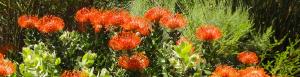 Fernkloof fynbos flowers