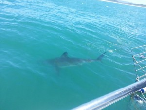 Great White Shark in the water next to the cage