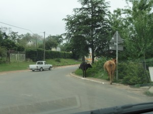 Street in Genadendal with cows - Eastbury Cottage