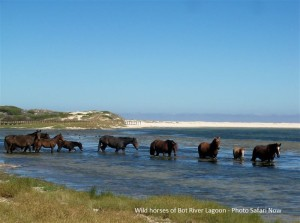 wild horses of Bot River
